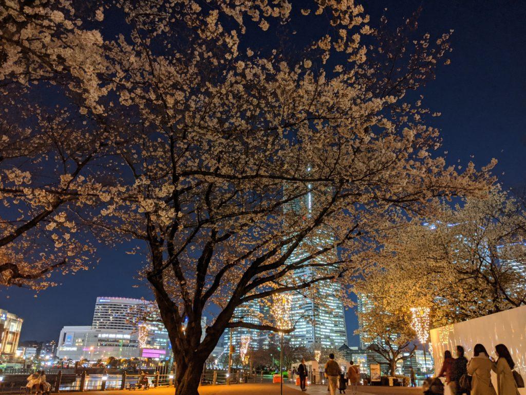 夜桜とランドマークタワー